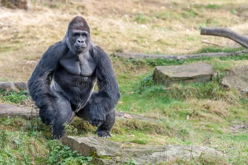 A gorilla man waits for food stock photography