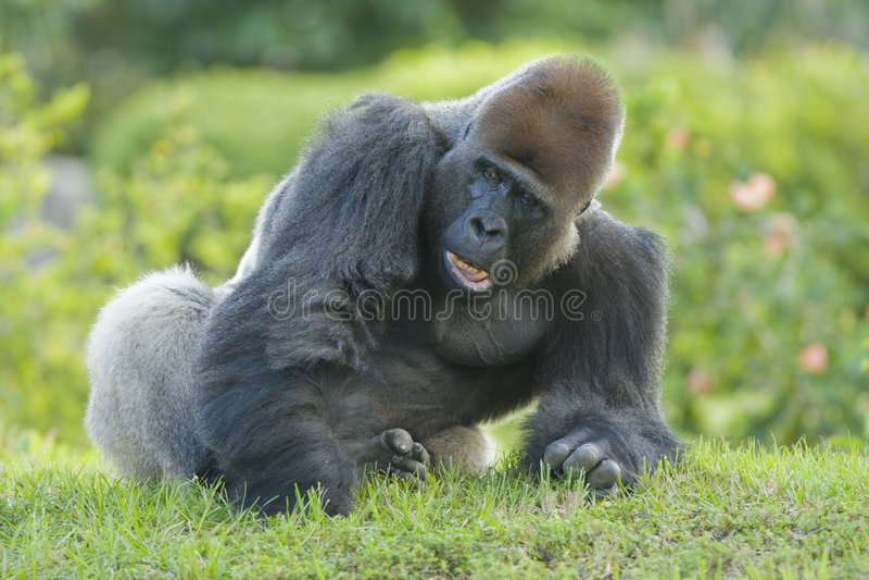 Gorilla maschio fotografia stock libera da diritti