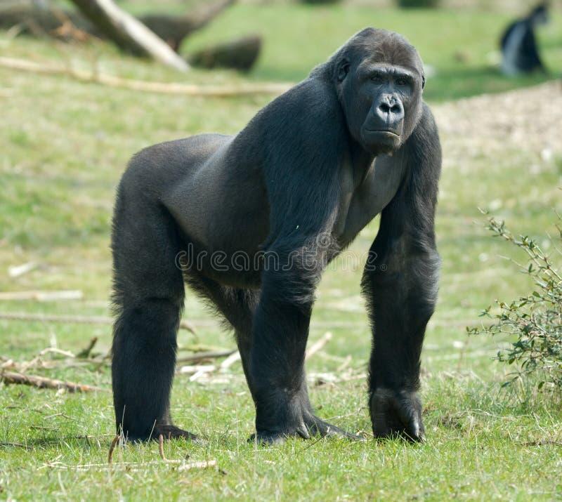 Gorilla maschio fotografie stock