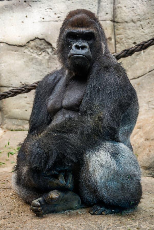 Gorilla maschio immagini stock libere da diritti