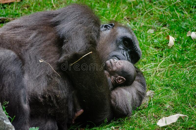 Gorilla mit Schätzchen stockbild