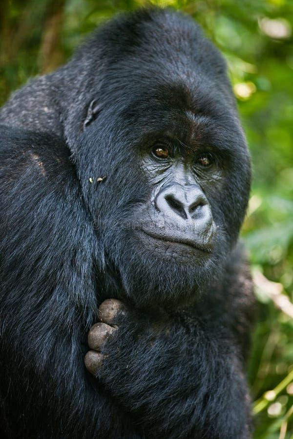 Gorilla. Monkey ape jungle africa congo forest silverback head muzzle stock image