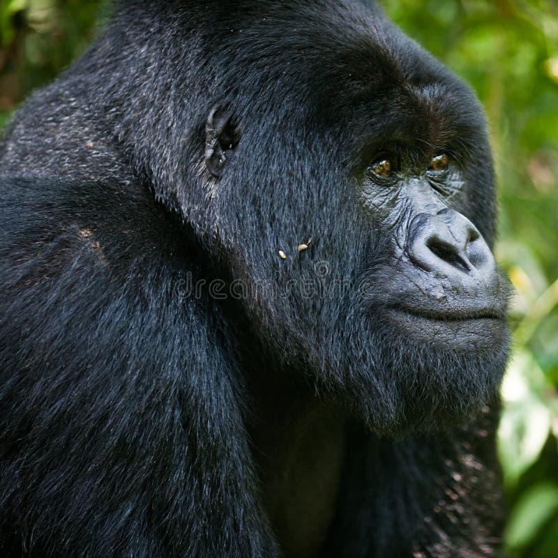 Gorilla. Monkey ape jungle africa congo forest silverback head muzzle stock images