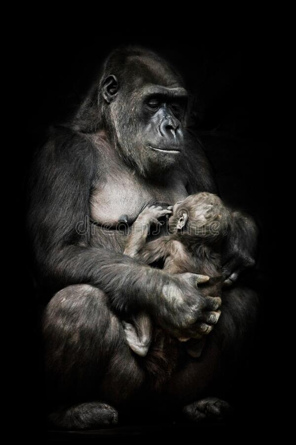 Free Gorilla Monkey Mother  Nurses Her Little Baby Infant, Cute Scene. Isolated Black Background Stock Photo - 175926650