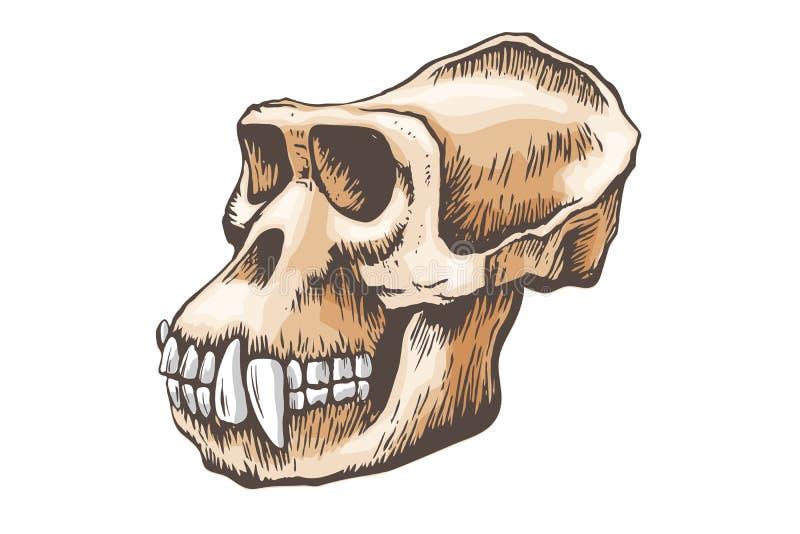 Gorilla Monkey Skull vector stock illustration