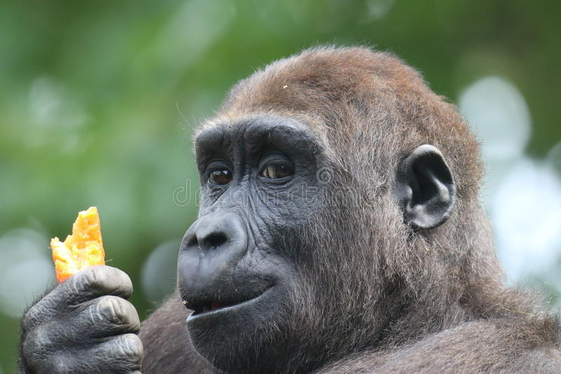 Gorilla & morot arkivfoto