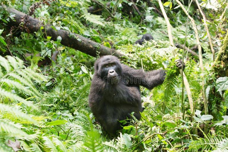 Gorilla in mountain rainforest Uganda, Africa stock photos