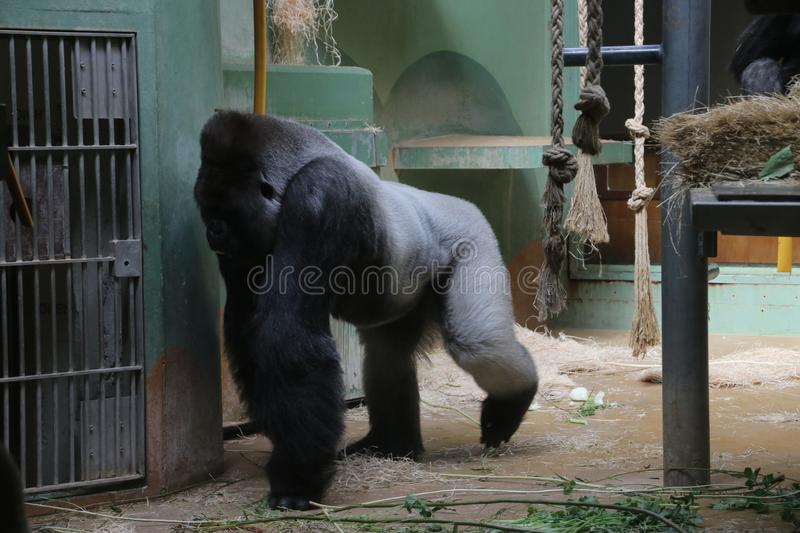 Gorilla named Bokito in the Rotterdam Blijdorp Zoo, famous due to his escape in 2007 when people get wounded. royalty free stock image