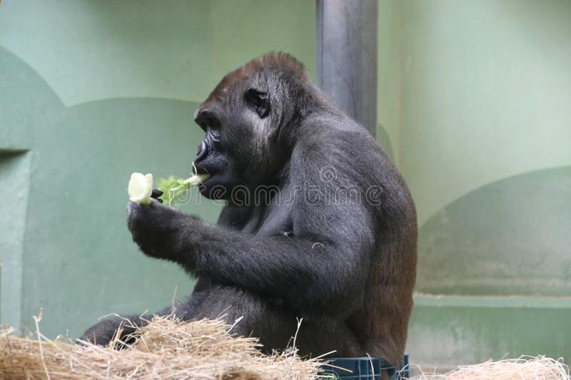 Gorilla named Bokito in the Rotterdam Blijdorp Zoo, famous due to his escape in 2007 when people get wounded. stock images