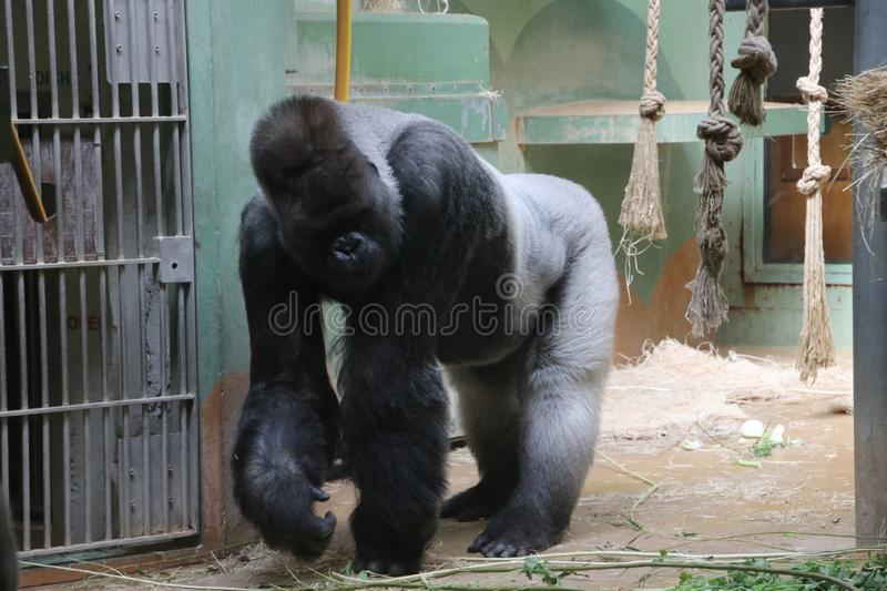 Gorilla named Bokito in the Rotterdam Blijdorp Zoo, famous due to his escape in 2007 when people get wounded. royalty free stock photography