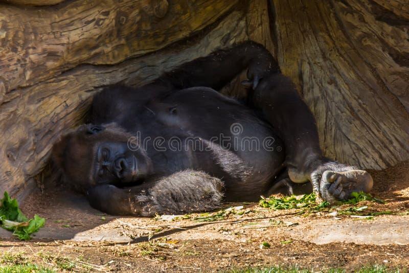 Gorilla Nap royaltyfria bilder