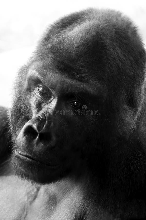 Gorilla am NC-Zoo stockfoto
