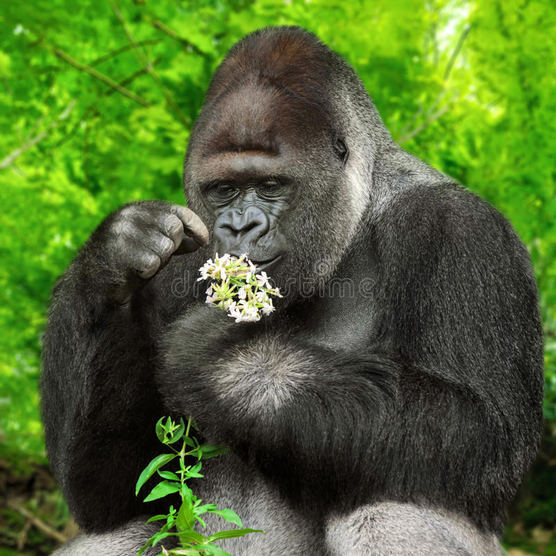 Gorilla observing a bunch of flowers. Large silverback gorilla gently holding a bunch of little flowers and observing them closely royalty free stock photos