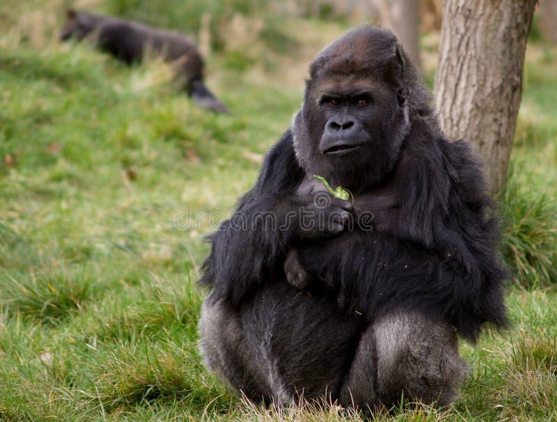 Gorilla occidentale della pianura fotografia stock libera da diritti