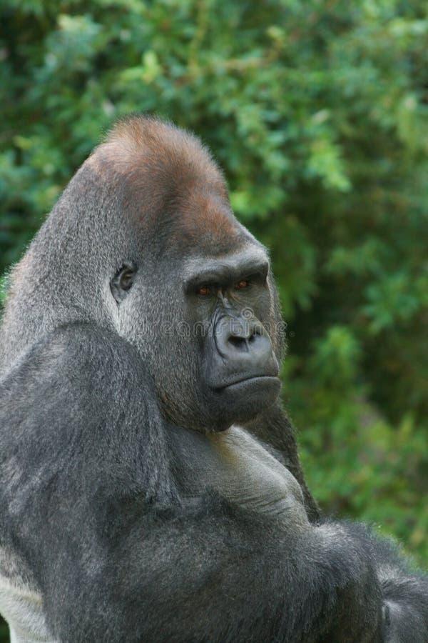 Gorilla occidentale della pianura fotografia stock