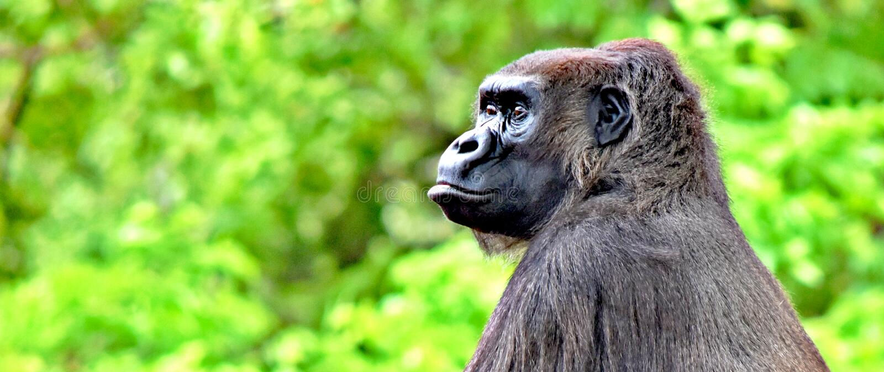 Gorilla, Oklahoma- Cityzoo, OKC, weiblich mit Baby stockbilder