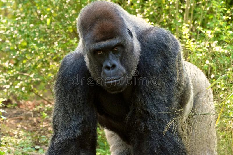 Gorilla op alle fours stock foto's