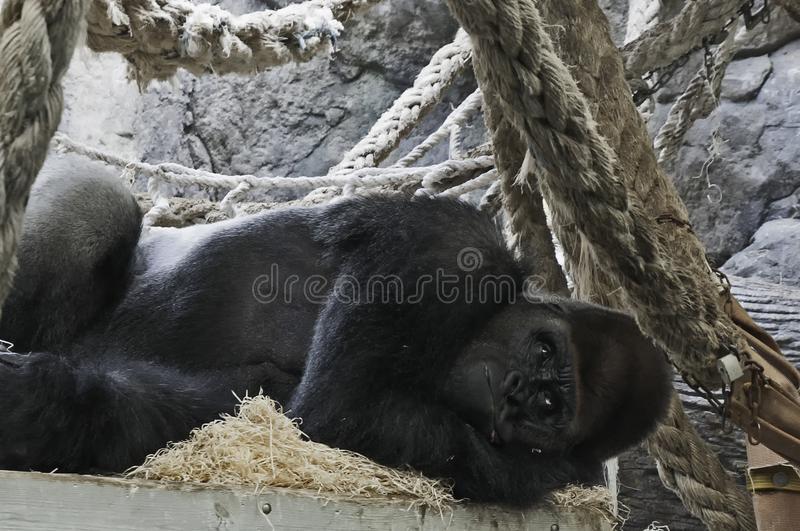 Gorilla på zoo arkivbilder