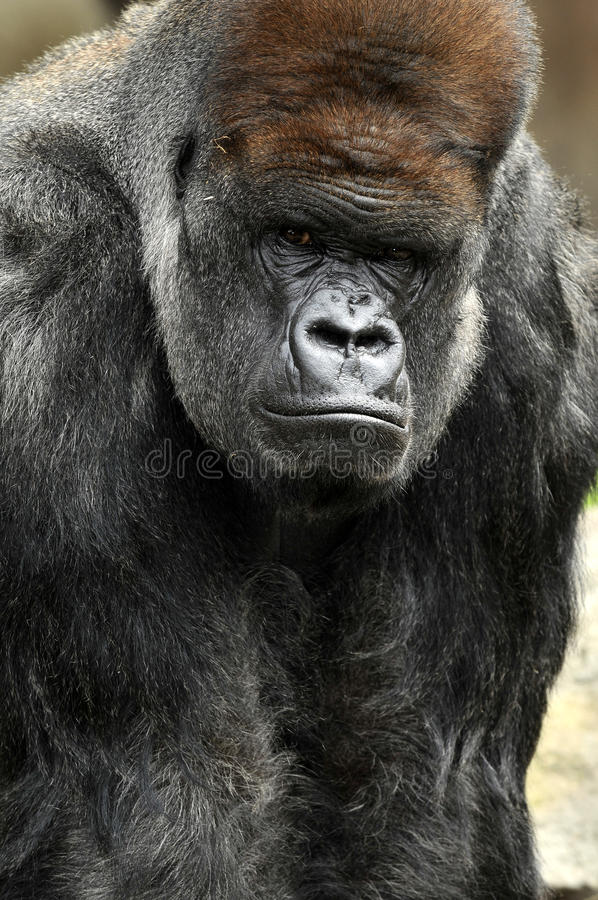 Free Gorilla Portrait Royalty Free Stock Photo - 17440605