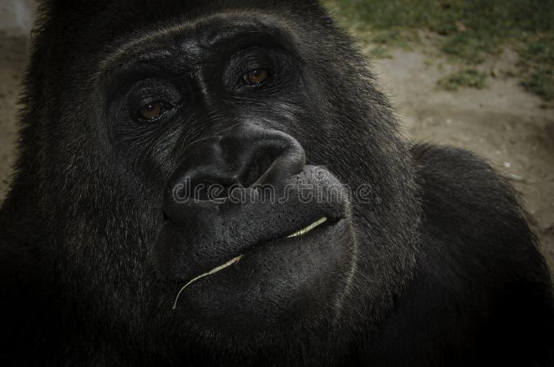 Gorilla Portrait lizenzfreie stockbilder