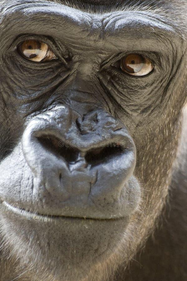 Gorilla Portrait. Gorilla male portrait (concentrated view stock photography