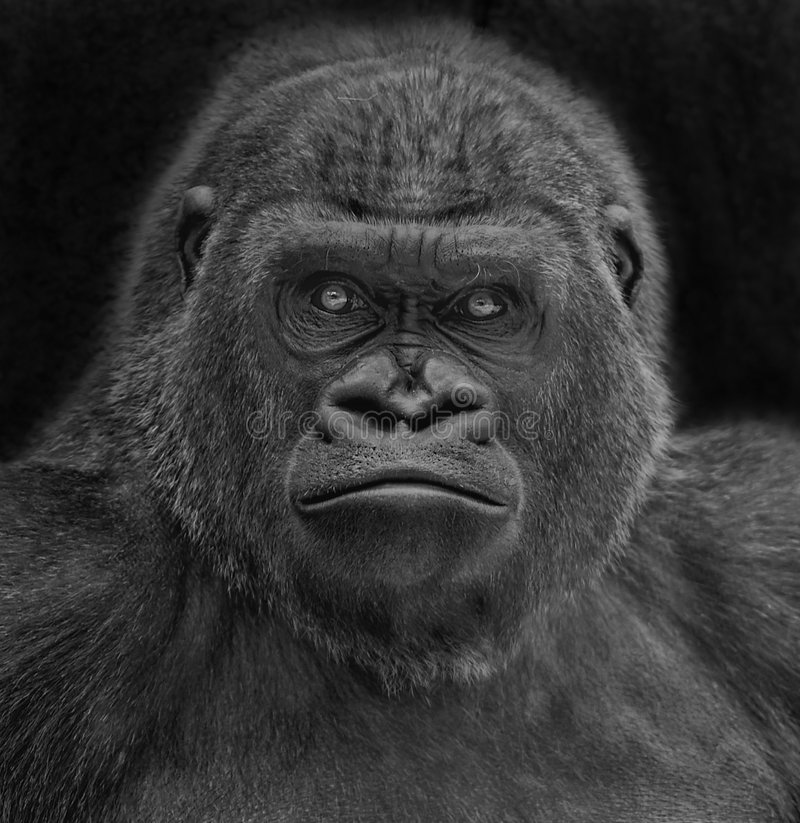 Gorilla portrait. A portrait of a gorilla on black background