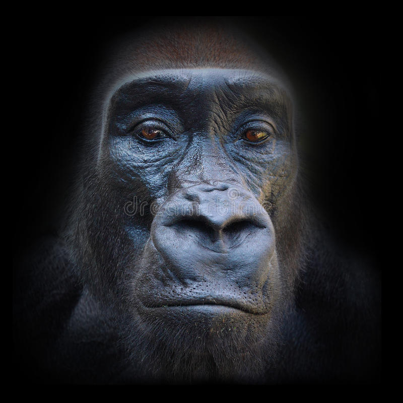 The Gorilla portrait. The evil eyes in the night. The Gorilla portrait royalty free stock photos