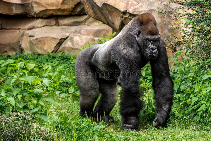 Gorilla primate. Big strong gorilla male primate walking in the grass in his habitat stock photo