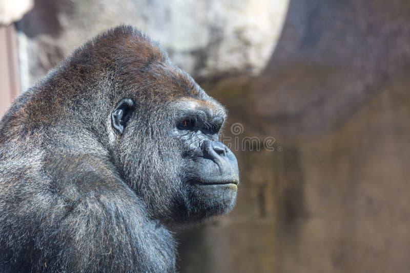 Gorilla Profile fotografia stock