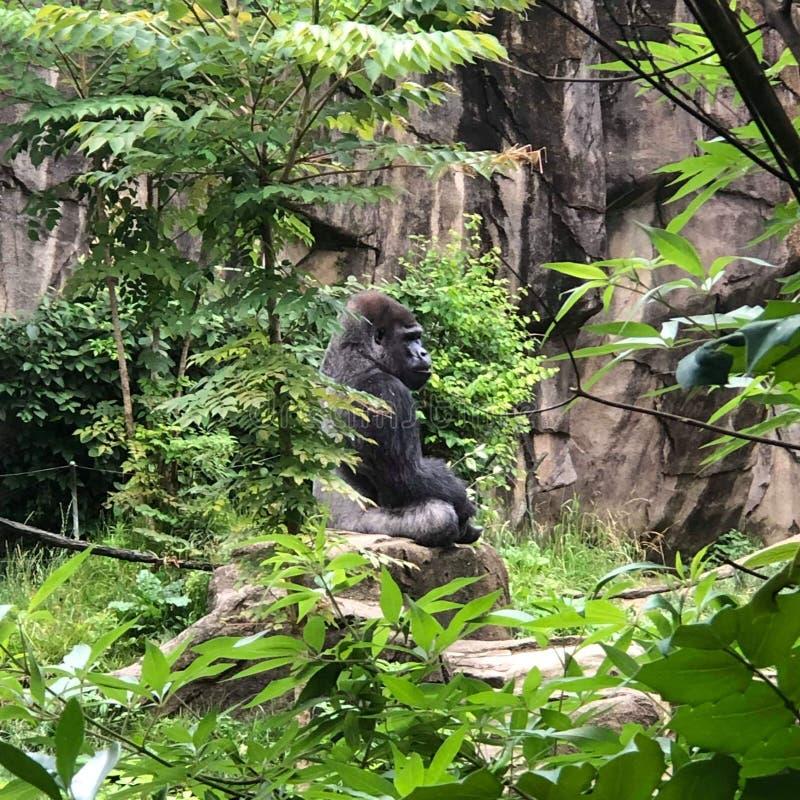 Gorilla profile stock photos