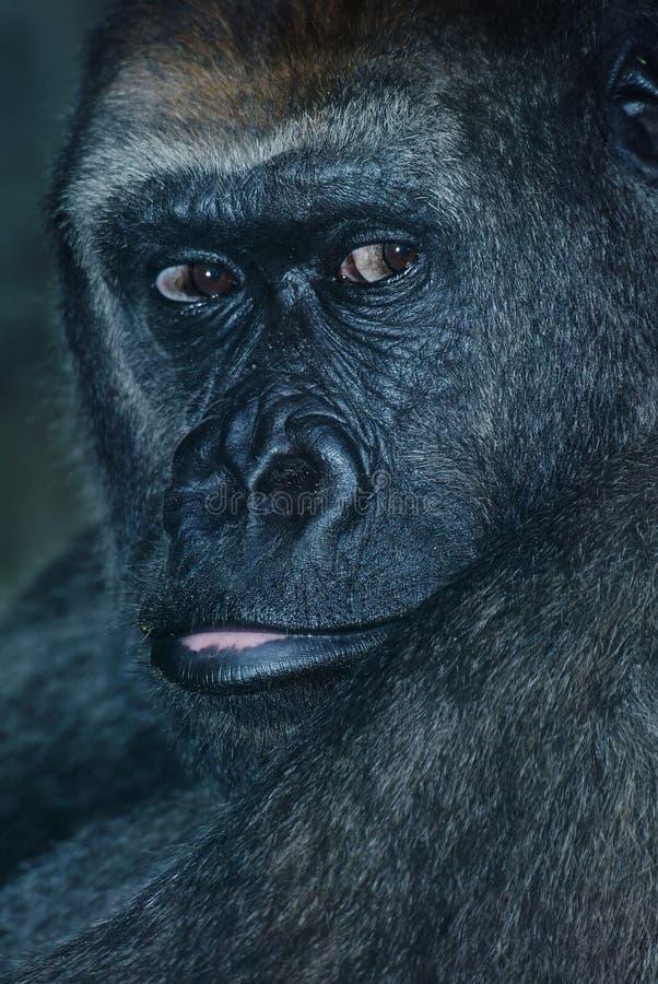 Free Gorilla Protrait Stock Images - 9935604