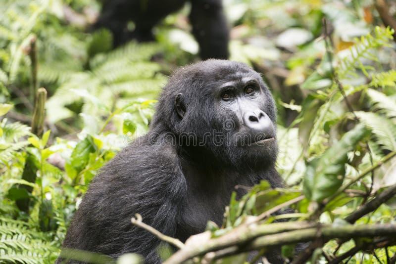Gorilla in jungle of Uganda royalty free stock photography