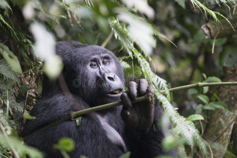 Gorilla in Mountain Jungle of Uganda. Gorilla in the mountain rainforest in Bwindi Impenetrable National Park, Uganda, Africa, situated near the border to Congo royalty free stock images