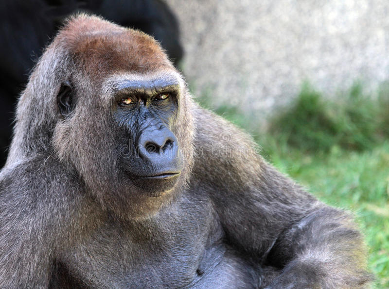 Gorilla. Reclining Female Gorilla With Serious Look In Her Eyes royalty free stock photos