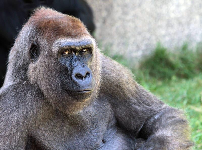 Gorilla royalty free stock photos
