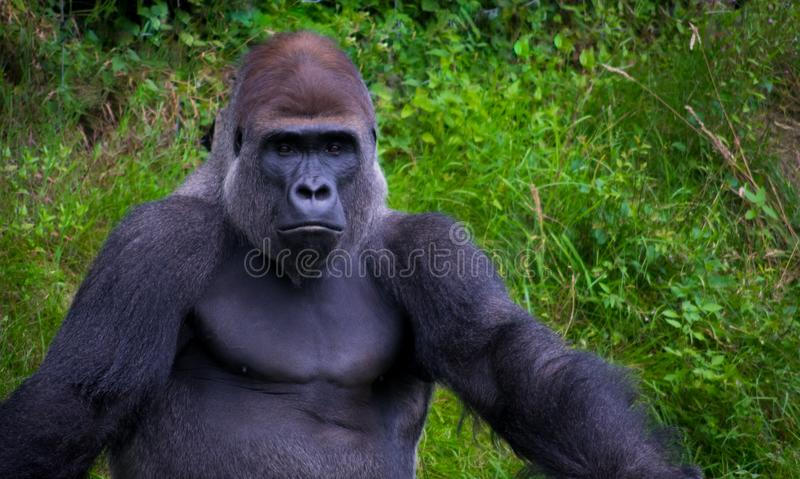 Gorilla relaxing in grass stock photo