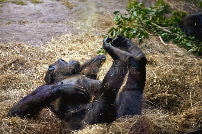 Gorilla relaxing in zoo royalty free stock photos