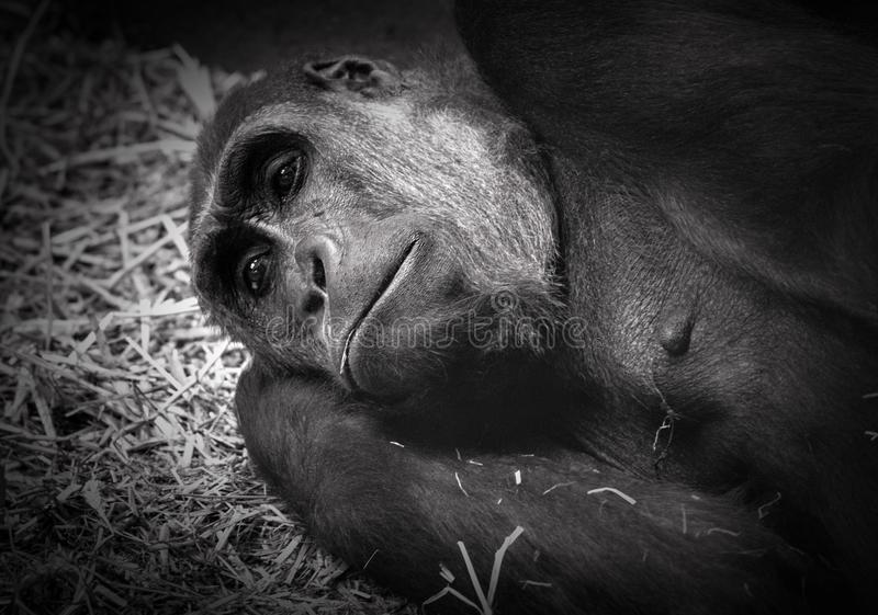 Gorilla resting on straw in black and white stock photo