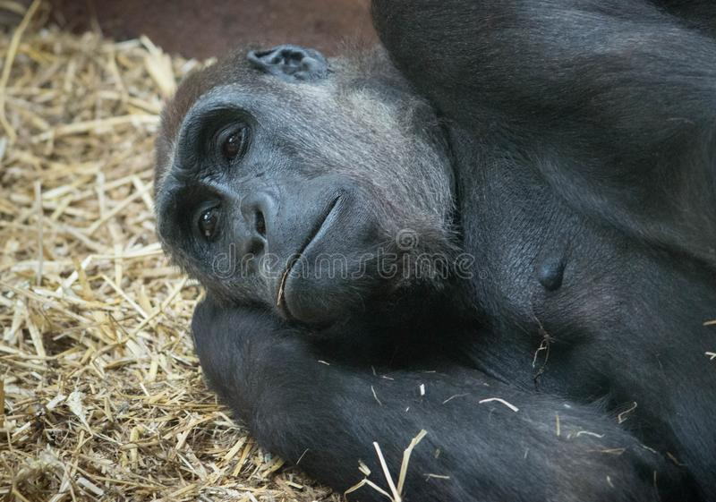 Gorilla resting on straw in a zoo stock image