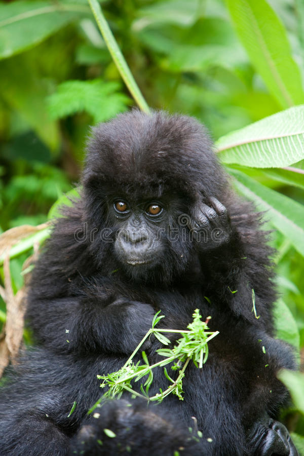 Gorilla in Rwanda royalty free stock photography