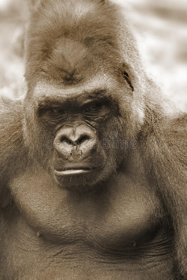 gorilla's royalty-vrije stock foto