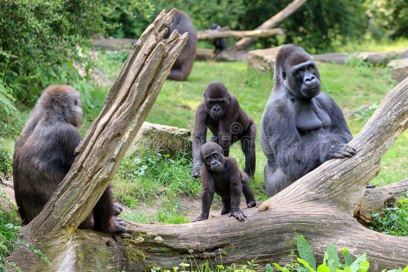 gorilla's stock fotografie
