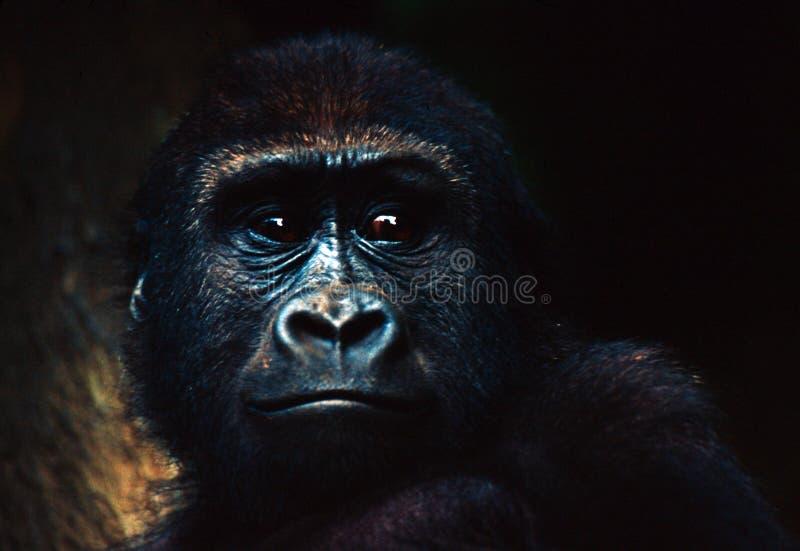 Gorilla-Schätzchen stockbild
