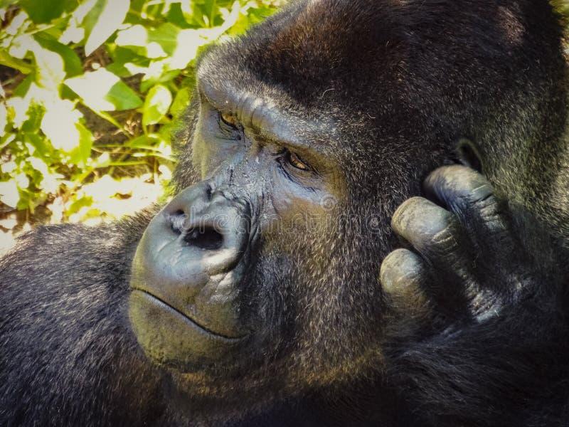 Gorilla Scratching desconcertado es principal fotos de archivo