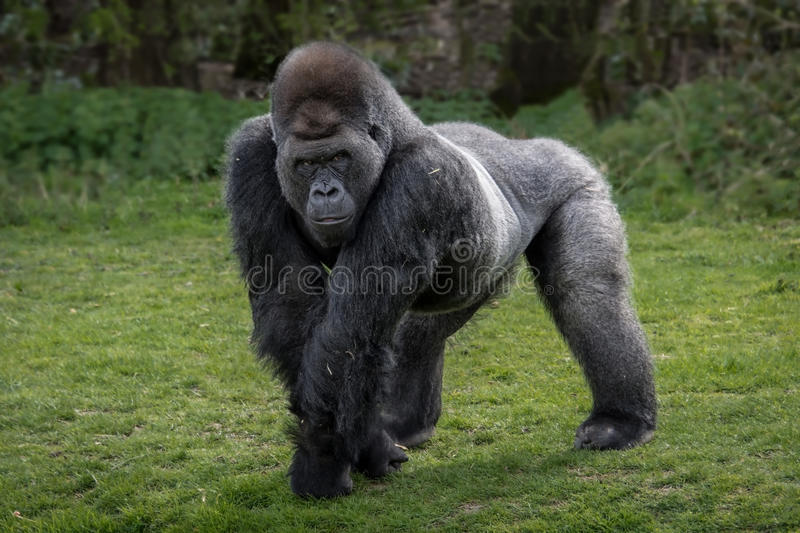 Gorilla. A silver back gorilla standing and looking alert and menacing against a natural background