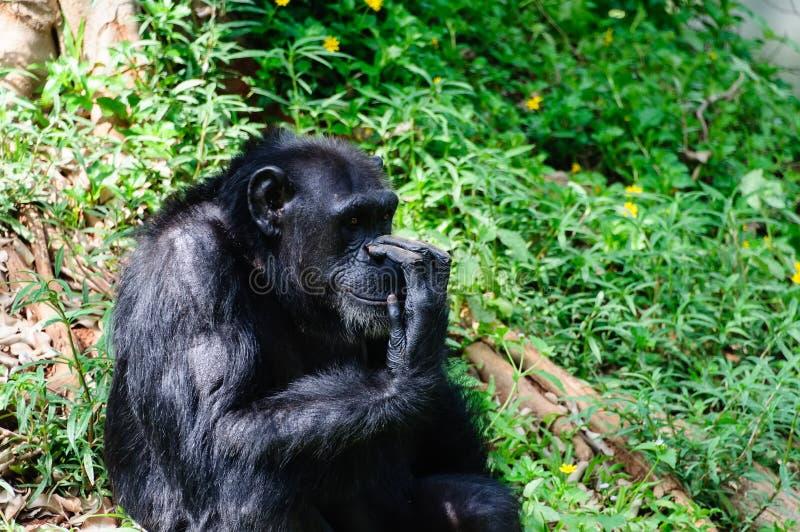 Gorilla. A silver-black mountain gorilla in a zoo in Thailand royalty free stock image