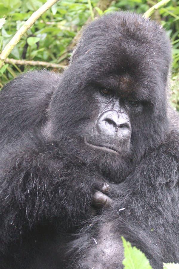 Gorilla Silverback Portrait stock photography