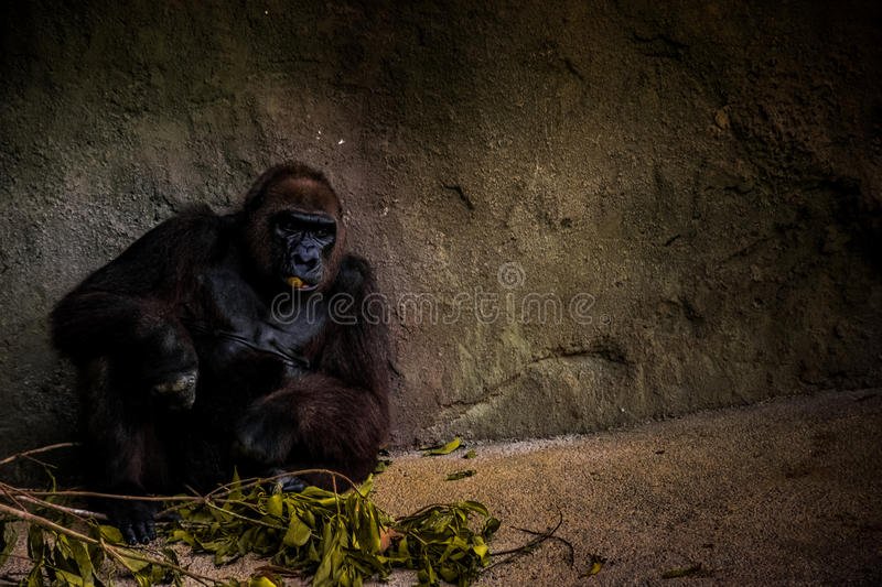 Download Gorilla Sitting Near Grey Rock Wall Stock Photo - Image of stock, gorilla: 83015074