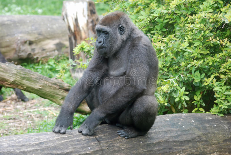 Gorilla sitting on a tree trunk. Western Lowland Gorilla sitting on a tree trunk royalty free stock photography