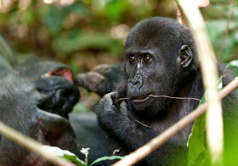 Gorilla som äter, gorilla för västra lågland i djungelKongofloden Stående av en gorilla för västra lågland (gorillagorillagorilla arkivbild